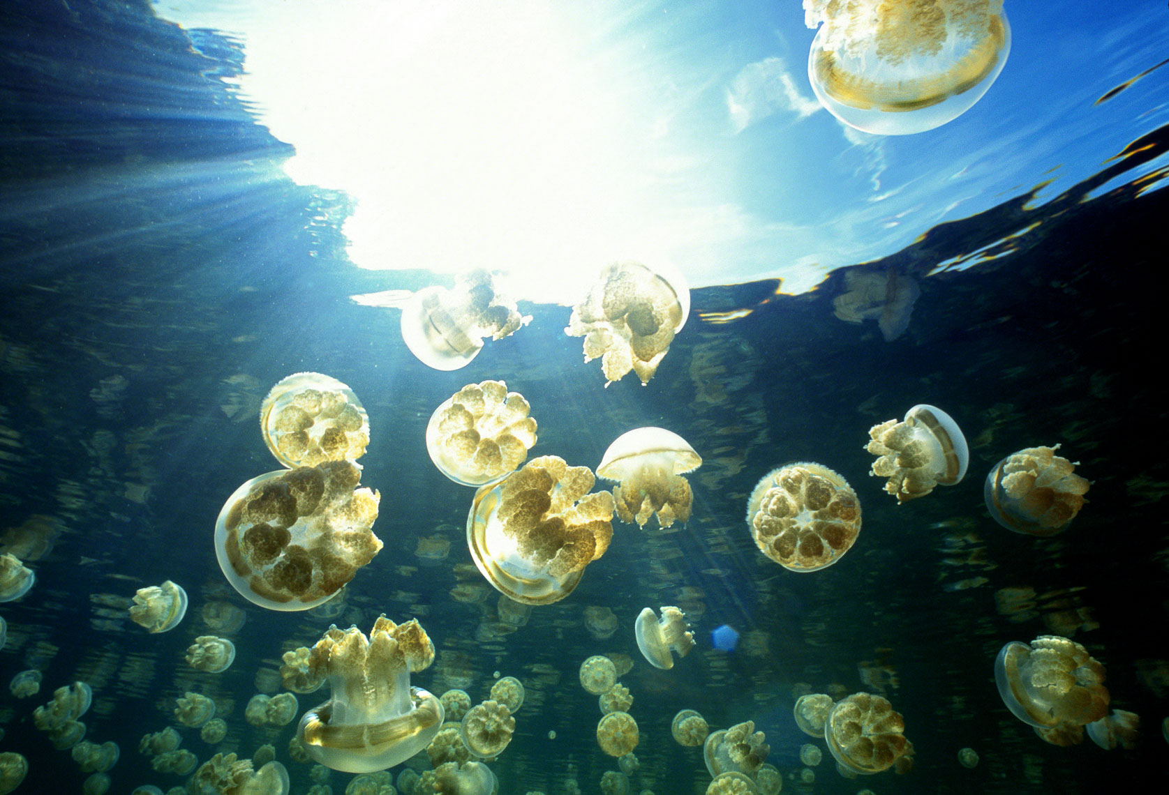 Golden jellyfish in Ongelm